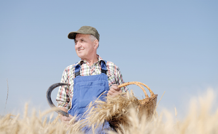 Organic farmer standing in a wheat field, looking at the crop  Model is a real farm worker  photo