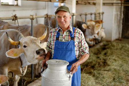 Farmer is working on the organic farm with dairy cows and holding big milk container pot. Model is a real farm worker!