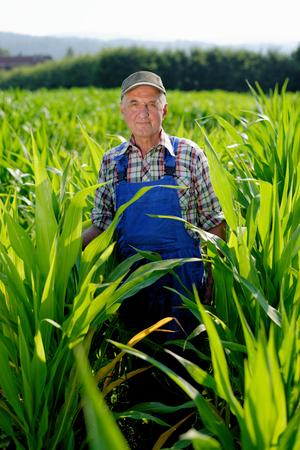maiz: Organic Farmer mirando ma�z en un campo. Modelo es trabajador de granja real