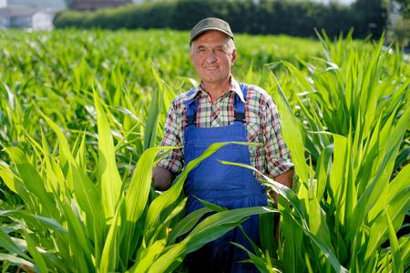 Biologische boer te kijken naar suikermaïs in een veld. Model is echte boerderij werknemer
