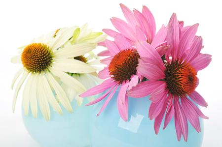 Echinacea flowers isolated on a white background photo