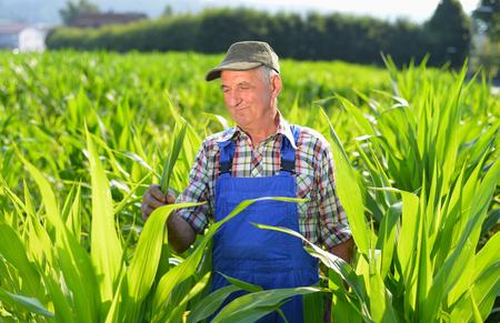 Organic Farmer looking at sweetcorn in a field. Model is real farm worker photo