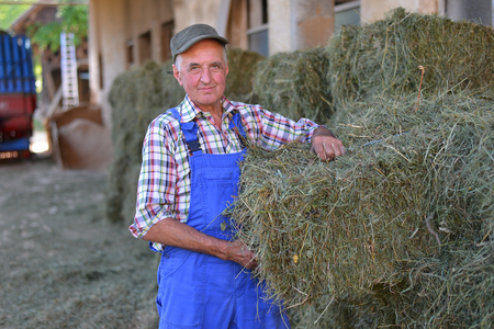 50 to 55 years: Organic farmer stack bales for feeding livestock. Model is a real farm worker! Stock Photo