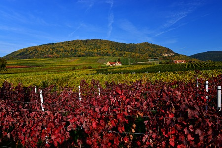 Autumn vineyard landscape with hills in Pfalz, Germany