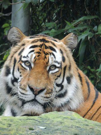 siberian tiger: siberian tiger Stock Photo