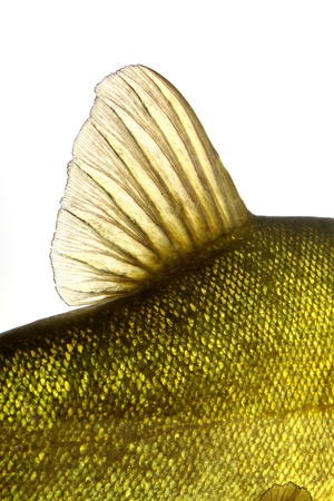 colored fish swimming free, carp, tench Stock Photo - 19316321
