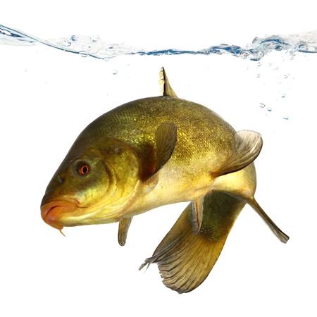 colored fish swimming free, carp, tench Stock Photo - 19316316