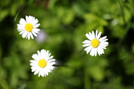 meadowland: daisies in the meadow Stock Photo