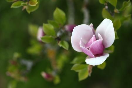 spring flower in the garden, magnolia