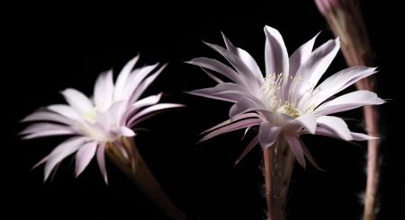 lily cactus, Echinopsis flower on black background photo