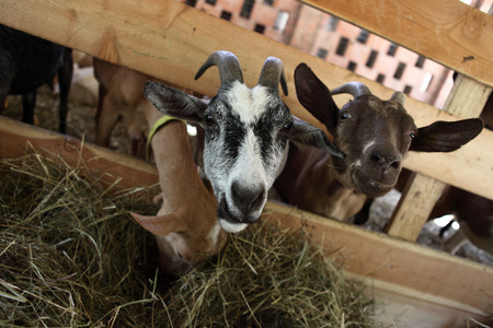 smiling goat: Goats eating hay on the farm Stock Photo