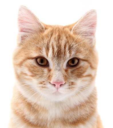 red cat portrait on white background photo