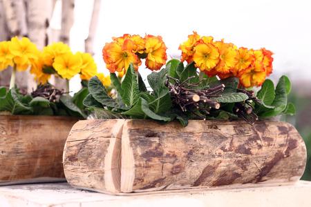 primroses: primroses in wooden pot, spring time concept