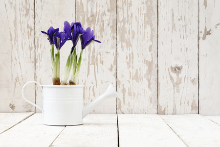 springtime, iris potted flowers in watering can on wooden white blank background