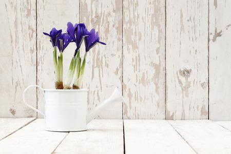primavera: primavera, iris en maceta flores en regadera sobre fondo blanco de madera blanca