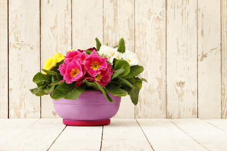 primrose: springtime, Primroses in flower pot isolated on wooden white blank background