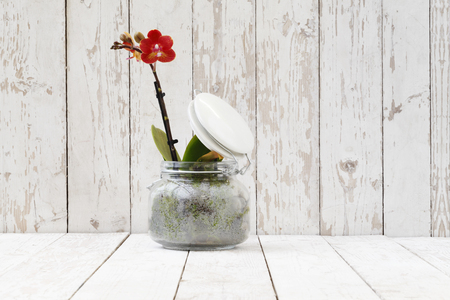 red orchid: red orchid in glass pot, isolated on white wooden planks Stock Photo