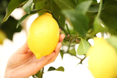 citrus tree: closeup hand harvest lemon from the tree Stock Photo