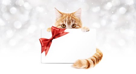 pet store advertising: ginger cat with gift card and red ribbon bow, isolated Stock Photo