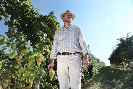 winemaker: Grapes harvest, Winemaker in vineyard autumn season