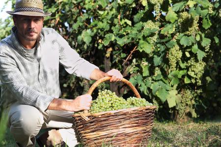 Grapes harvest, Winemaker in vineyard in autumn season