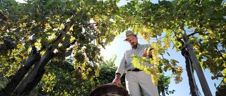 winemaker: Grapes harvest, Winemaker in vineyard in autumn season
