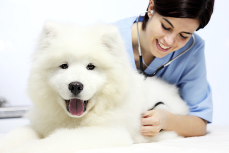 health professional: smiling Veterinarian examining pet dog on table in vet clinic Stock Photo
