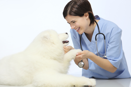 smiling Veterinarian examining dog paw on table in vet clinic Stock Photo