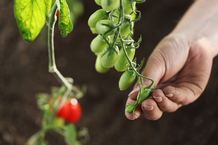 hand touch green cherry tomatoes plant in vegetable garden, top view Stock Photo