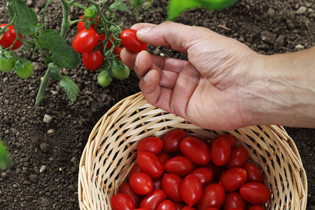 Hand picking cherry tomatoes from the plant with basket in vegetable garden top view