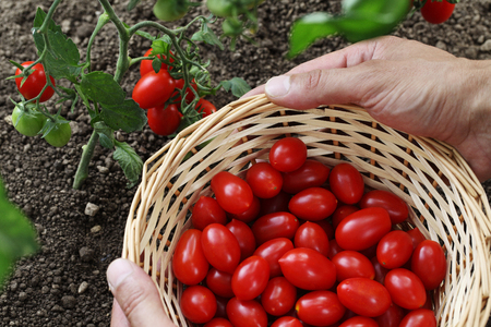 Hands picking cherry tomatoes from the plant with basket in vegetable garden top view