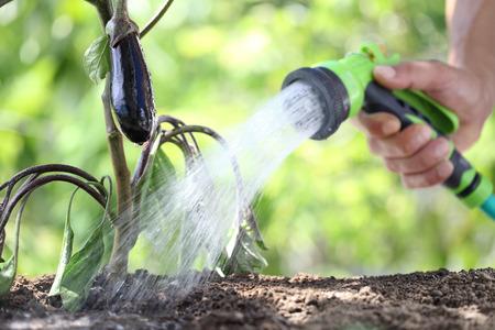 手の植物に水をまきます。家庭菜園でナス。クローズ アップ。