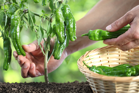Hands picking green peppers with basket in vegetable garden, close up.