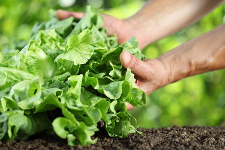 Hands picking lettuce, plant in vegetable garden, close up.