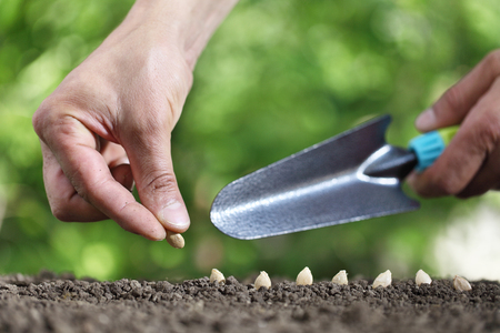 hand sowing seeds in the vegetable garden soil, close up with tool on green background. Stock Photo