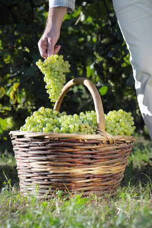 Grape harvest basket, Workers hand collects and puts the bunch of grapes into the wicker basket.