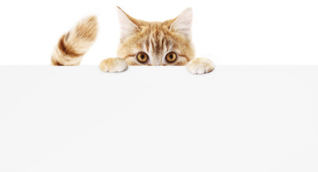 funny pet cat showing a placard isolated on white background blank web banner template and copy space. Foto de archivo