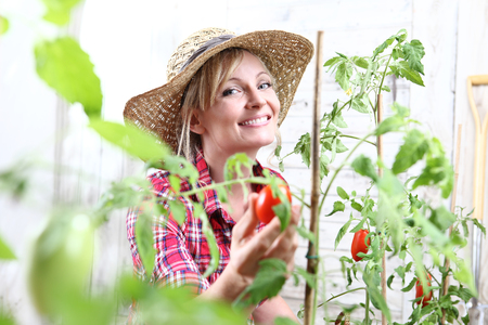smiling woman in vegetable garden, hand picking cherry tomato close up. Standard-Bild