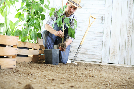 man plant out a seedling in the vegetable garden, work in the garden. Stockfoto