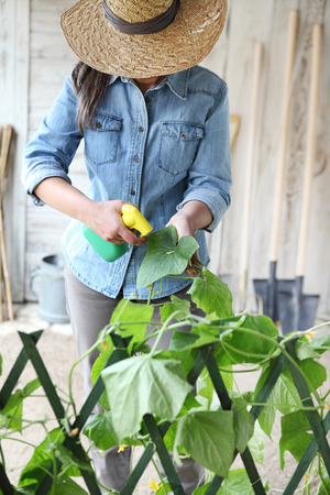 woman in vegetable garden sprays pesticide on plant leaf with caterpillar, care of plants for growth concept.