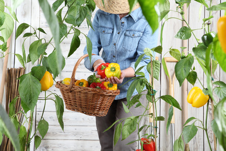 woman in vegetable garden with wicker basket picking colored sweet peppers from lush green plants, growth and harvest concept.