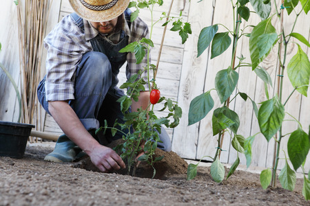man plants out from the pots into the soil of the vegetable garden, works to grow and produce blackberries.