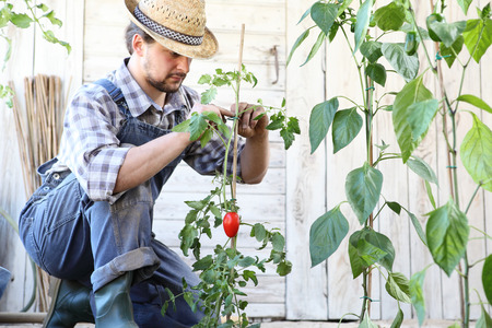 man working in the vegetable garden tie up the tomato plants, take care to make them grow and produce blackberries. Stok Fotoğraf