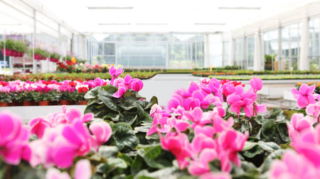 greenhouse background full of cyclamen flower plants, panoramic image with copy space.