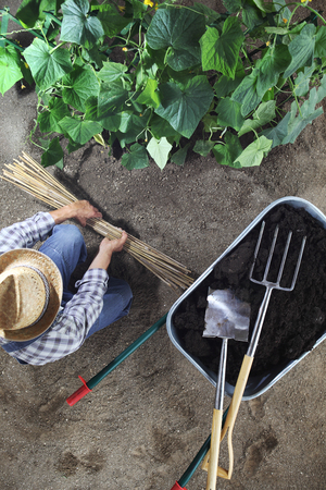 man working in vegetable garden with bamboo sticks for tie the plants near wheelbarrow full of fertilizer and gardening equipment, top view Stok Fotoğraf