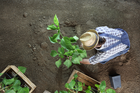 man gardening work in the vegetable garden place a plant in the ground so that it can grow, top view from above