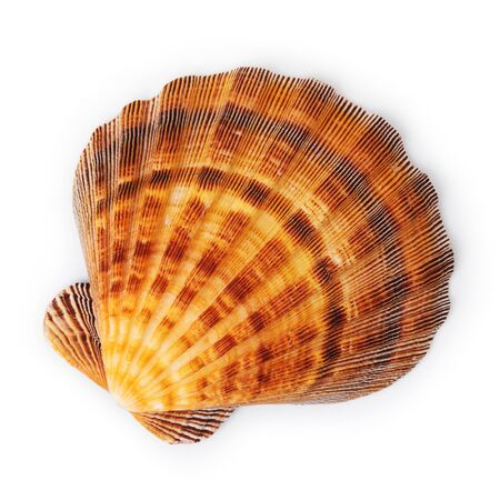 seashell isolated on white background, top view.