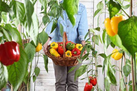 hand picking colored sweet peppers from lush green plants, growth and harvest concept, close up.