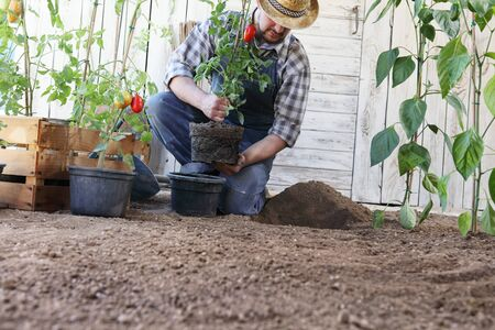man plant out from the pots into the soil of the garden, works to grow and produces more, image with copy space.