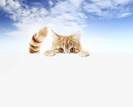 funny pet cat showing a blank placard isolated on blue sky blank web banner template and copy space. Stockfoto